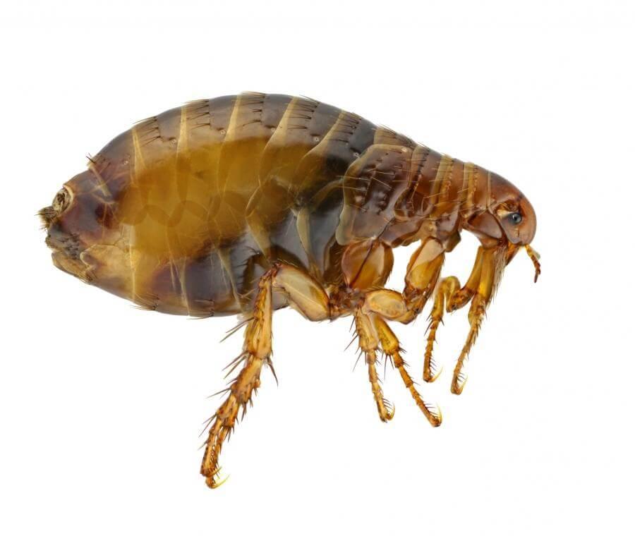 блохи - кровососущие насекомые