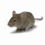 Уничтожение мышей в СПБ и ЛО